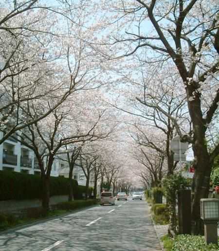 2006 4月桜並木3-s