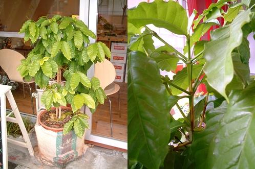 コーヒーの木2006年12月