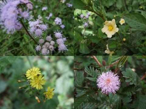 Nica-wildflower