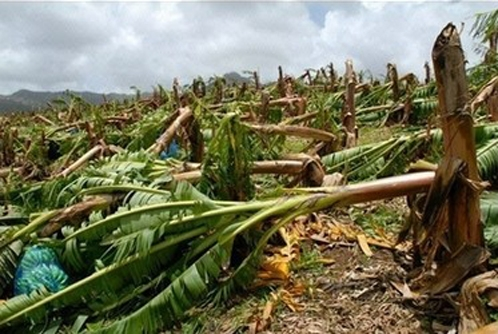 banana farm destroyed